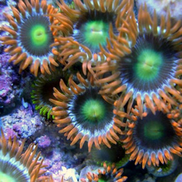Boo Berries Zoanthids