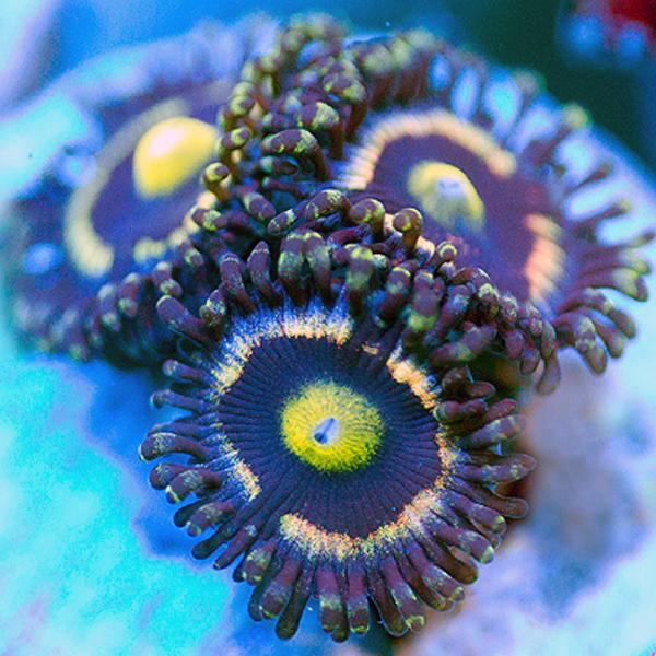 California Dream Zoanthids