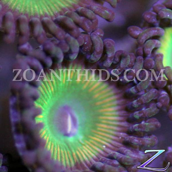 Candy Apple Green Zoanthids