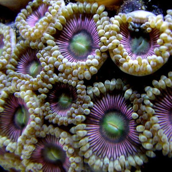 Candy Apple Pink Zoanthids