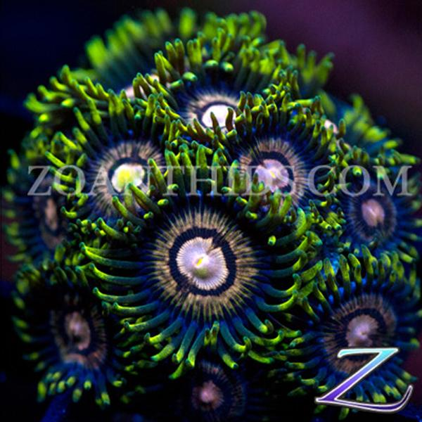 Candy Bomber Zoanthids