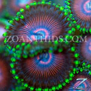 Candy Crush Zoanthids