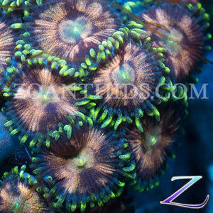 Candy Stripes Zoanthids