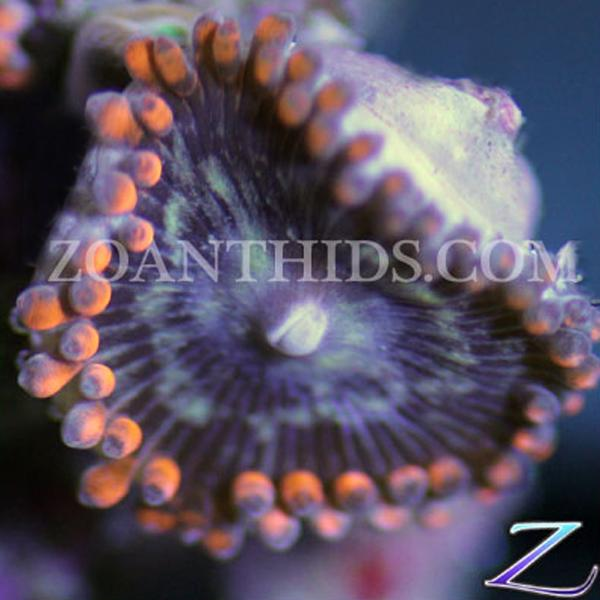 Captain Hook Zoanthids