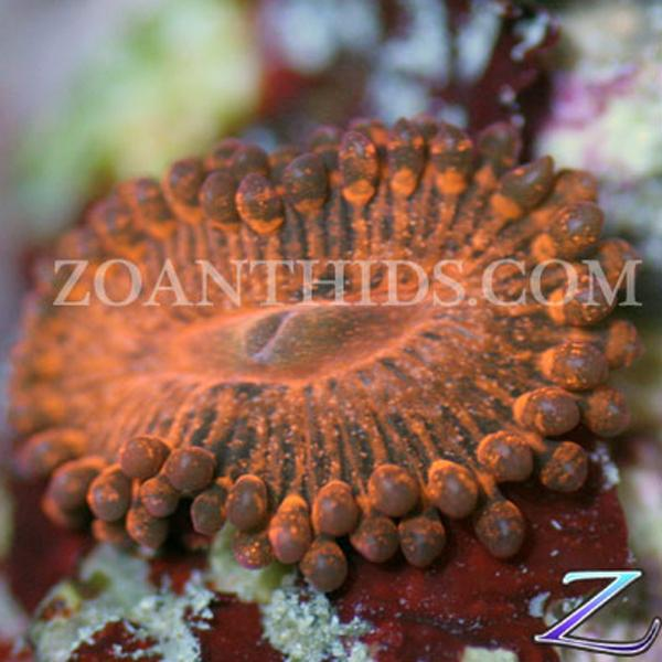 Chemical Fury Zoanthids