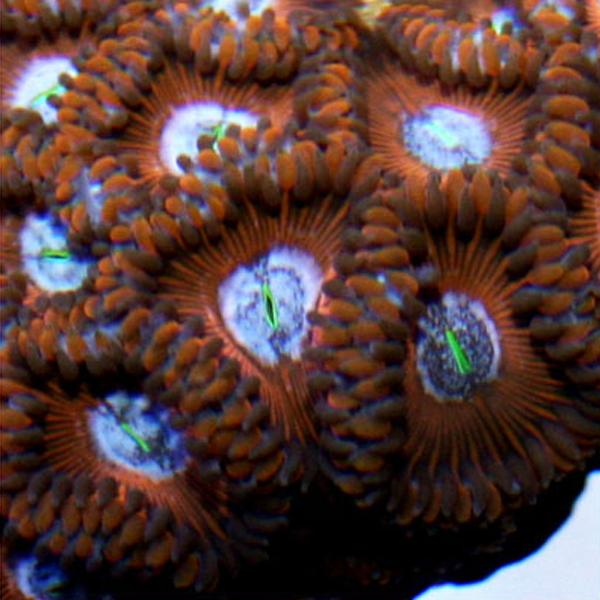 Cherry Bomb People Eater Zoanthids