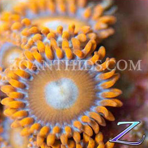 Creamsicle Zoanthids