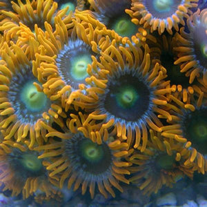 Cross Fire Zoanthids