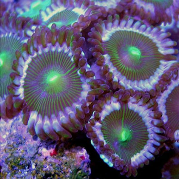 Dalmation People Eater Zoanthids