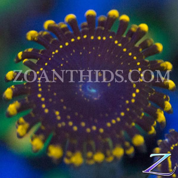 Death Ring Fury Zoanthids