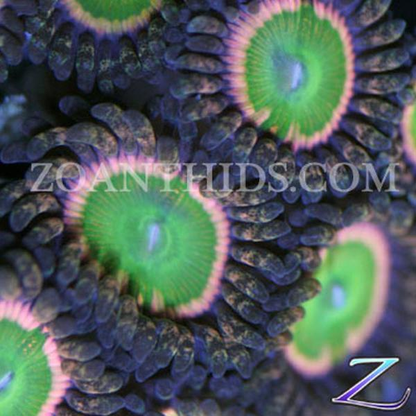 Double Rainbow Zoanthids