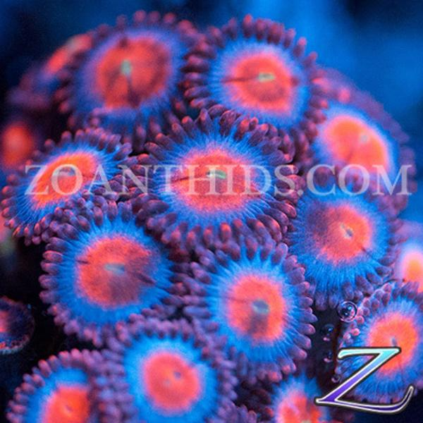 Double Trouble Zoanthids