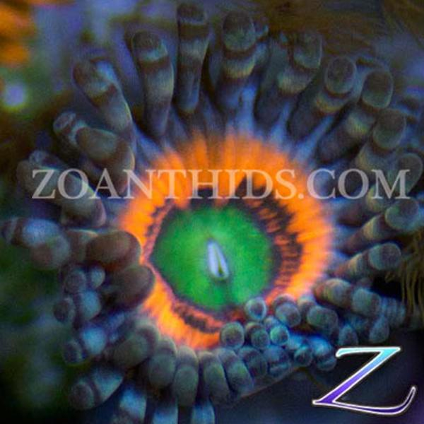 Electric Ember Zoanthids