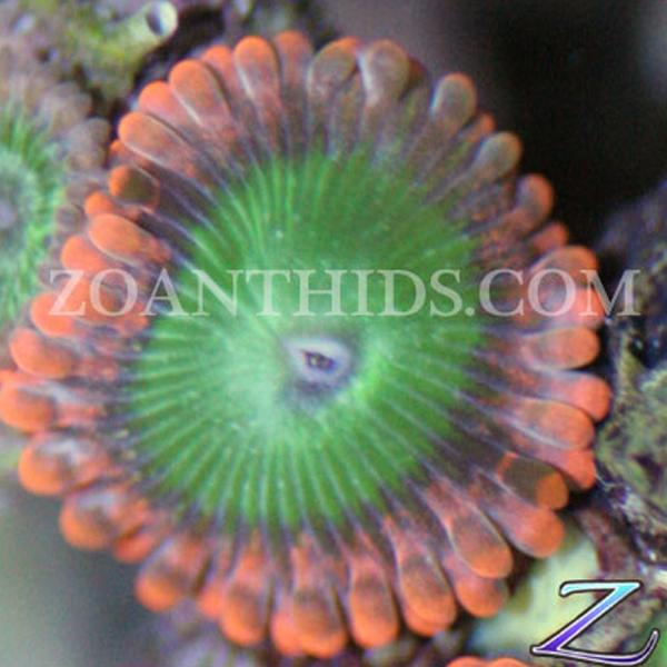Electric Oompa Loompa Zoanthids