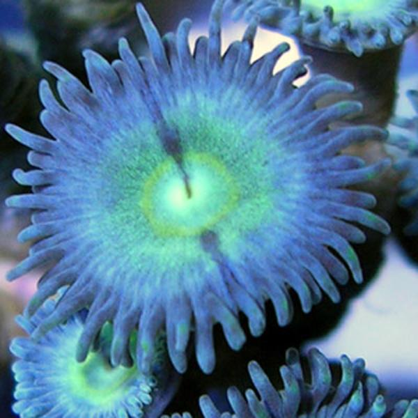 Encounter Zoanthids