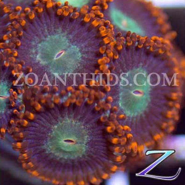 Everburner Zoanthids