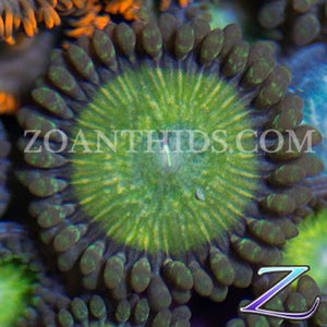 Fear Factor Zoanthids