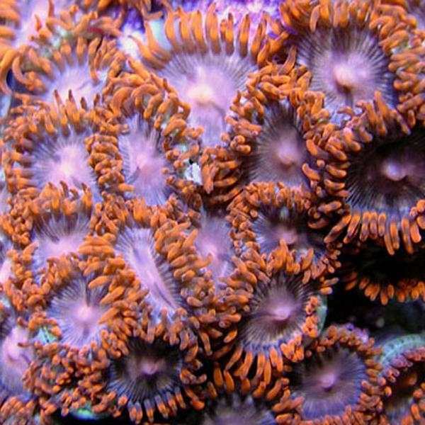 Flaming Pink Zoanthids