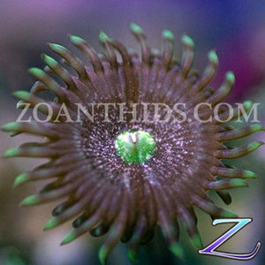 Formation Zoanthids
