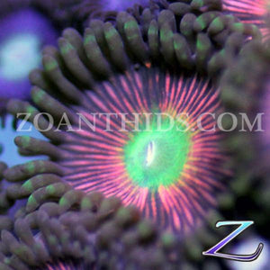 Gila Monster Zoanthids