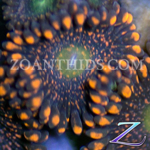 Golden Nightmare Zoanthids