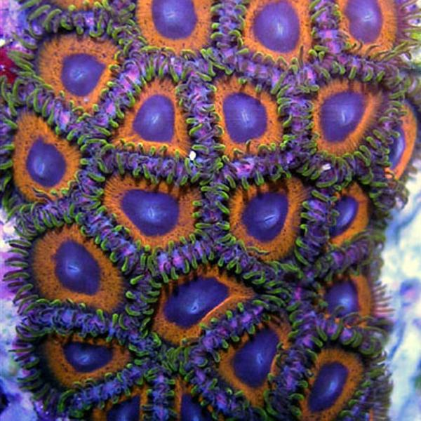 Green Skirted Prowler Zoanthids