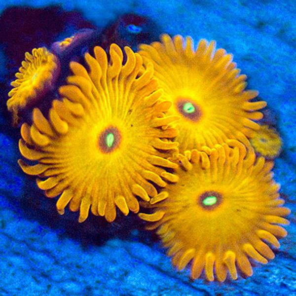 Hells Flame Zoanthids