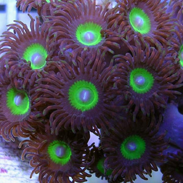 Infinity Zoanthids