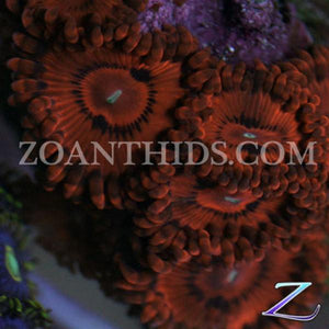 KO Nightmare Zoanthids