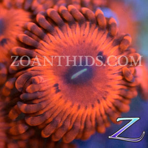 Little Red Riding Hood Zoanthids