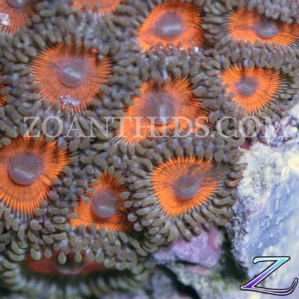 Magma Zoanthids
