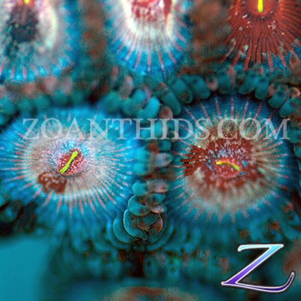 Mayhem People Eater Zoanthids