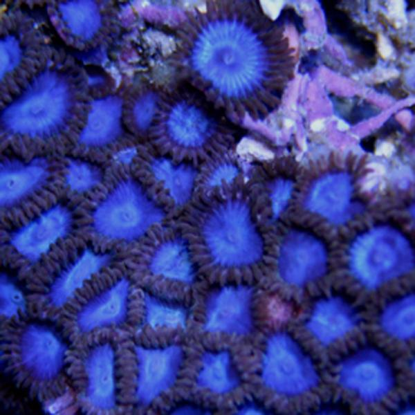 Metallic Blue Zoanthids