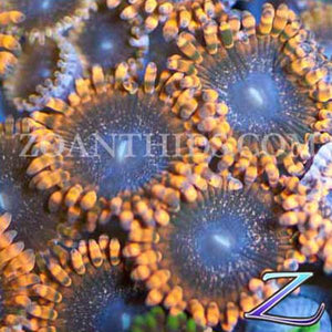 Meteor Shower Zoanthids