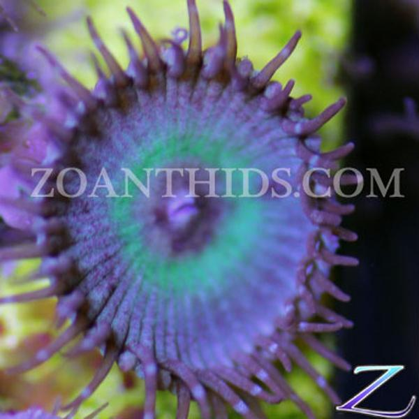 Mind Blowing Zoanthids