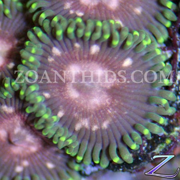 Mind Trap Zoanthids