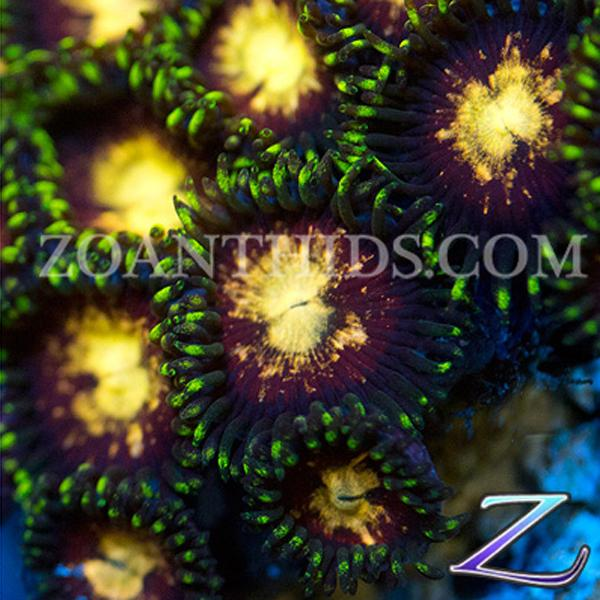 Mother Load Zoanthids