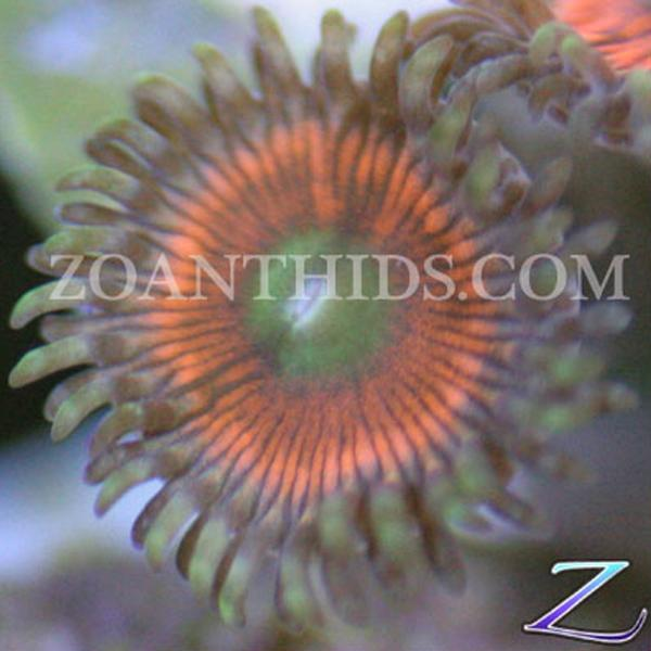 Mystic Apple Zoanthids