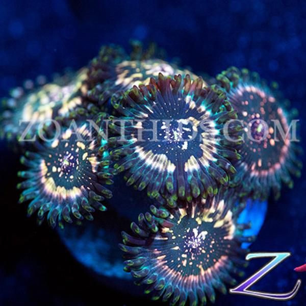 Mystic People Eater Zoanthids