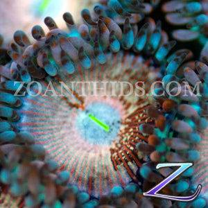 Naked Agave People Eater Zoanthids
