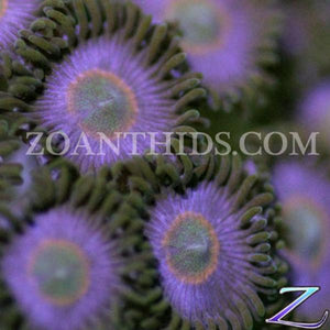 Night Crawler Zoanthids