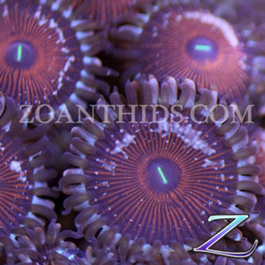 Nuclear Fallout People Eater Zoanthids
