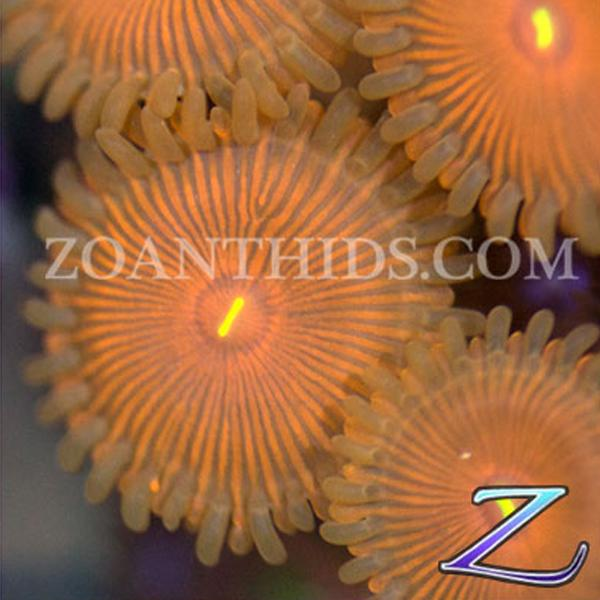 Orange Envy Zoanthids