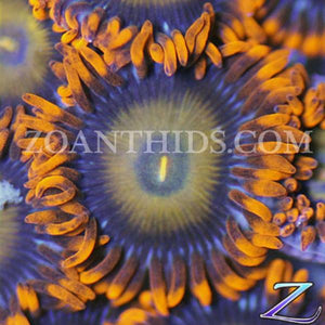 Oxides Zoanthids