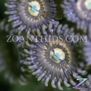 Pacman Zoanthids