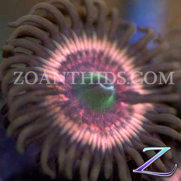 Peachy Spectrum Zoanthids