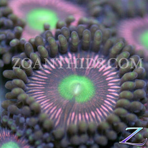Peacock Zoanthids