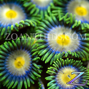 Phat Heads Zoanthids