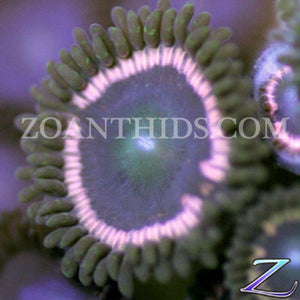 Phat Zoanthids