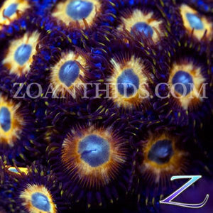 Pied Piper Zoanthids